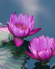 Exotic Flowers, Purple Flowers, Beautiful Flowers, Fine Art Photography, Nature Photography, Flower Photography, Nymphaea Lotus, Lotus Art, Lily Pond