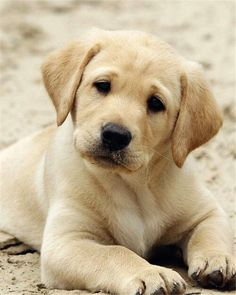 labrador retriever puppies What are the best dog breeds for families? Here we list 12 most passionate dogs from shapes, sizes and breeds. Labrador Retrievers, Labrador Retriever Dog, Labrador Dogs, Golden Retrievers, Chocolate Labrador Retriever, Dogs And Kids, Dogs And Puppies, Doggies, English Lab Puppies