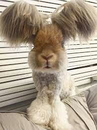 The ultimate Angora rabbit hair cut.