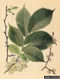 Ulmus glabra Skogsalm wych elm, Ulmus glabra (Urticales: Ulmaceae) - 1379038
