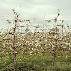 Blossoms - Haspengouw - Localilo