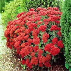 Sedum spectabile Autumn Fire