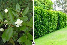 Murta, conheça esta e mais 25 plantas resistentes ao sol.