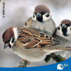 Guten Morgen! Nach den bisherigen Meldungen liegt bei uns in Bayern der Feldsperling auf Platz eins. Dicht gefolgt vom Haussperling und auf Platz drei die Amsel. Alle Live-Ergebnisse könnt ihr auf unserer Seite http://ift.tt/2i37Lpe ansehen.  #stundederwintervögel #feldsperling #treesparrow #sperling #spatz #garten #winter #citizenscience #vogelzählung #birdwatching #gardenwatch #bayern #bavaria #natur #nature #mitmachen #instabird #birdsofinstagram