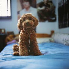 A slightly smaller version of my ideal second dog: female red miniature poodle. #poodle #miniature #red #dog #puppy