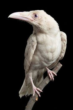 A-Z List of 125 Rare Albino Animals [Pics] - - Albinism is an genetic disorder characterized by a lack of melanin in the body, the body's color producing pigment. It is extremely rare. Here's a list of 125 rare albino animals. Pretty Birds, Beautiful Birds, Animals Beautiful, Beautiful Horses, The Crow, Animals Tattoo, Rare Albino Animals, Very Rare Animals, White Raven