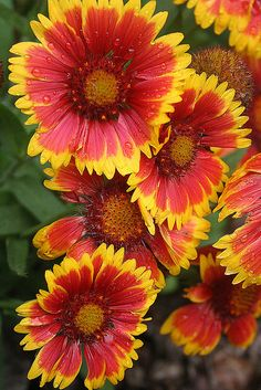 Indian Blanket (Gaillardia pulchella) yellow tipped flowers