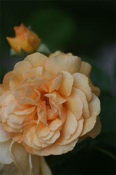 Hybrid Musk Shrub Rose: Rosa 'Buff Beauty' (U.K., 1939)