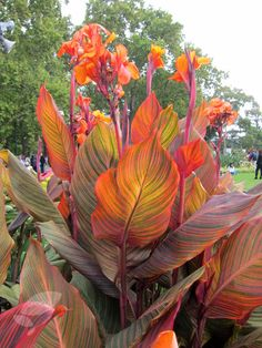 Canna 'Phasion' 3 x rhizomes £14.99 height 1.6m width 0.5m Position: full sun Soil: fertile, well-drained soil or loam-less potting compost Flowering period: June to September Flower colour: bright orange Other features: large, bronze-tinted, bright-green leaves Hardiness: half hardy