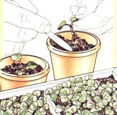 Les semis intérieurs des légumes.
