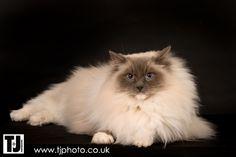 The British Ragdoll Cat Club
