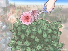 Prune Geraniums Step 5 Version 2.jpg
