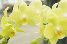 phalaenopsis smile taida | ミディ胡蝶蘭】Phal.Taida Smile'Little Gold'(交配種 ...