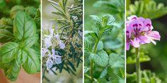 Τα σημαντικότερα αρωματικά φυτά και λουλούδια που μπορούμε να φυτέψουμε σε γλάστρα και στον κήπο για να απωθήσουμε τα κουνούπια. Tips, Plants, Plant, Planets, Counseling