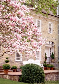 Carolyne Roehm - Weatherstone, her country home in Conneticut. Near her home's main entrance, Magnolia soulangeana and boxwood topiaries.