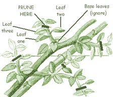 How+Do+I+Trim+Orchids | The best laterals or side shoots on young trees will later form the ...