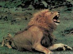 Lwiątko się naraża