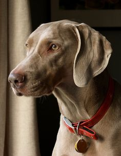 My beautiful Lucy! Weimaraner Puppies, Boxer Dogs, Dogs And Puppies, Funny Dogs, Cute Dogs, Yellow Lab Puppies, Cat Photography, Working Dogs, Doberman