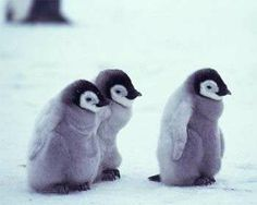 baby penguins!