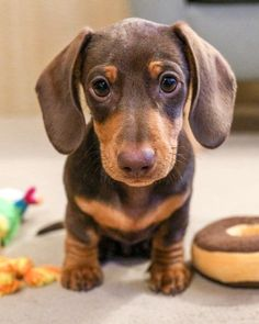 The Diverse Dachshund Breed - Champion Dogs Dachshund Funny, Dachshund Breed, Long Haired Dachshund, Dachshund Love, Dapple Dachshund, Daschund, Chihuahua Dogs, Doggies, Cute Puppies