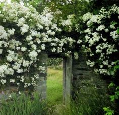 Rose Arch Over Train | Tags: ramblers , ramblers flowers , rambling roses , Rosa 'Seagull'