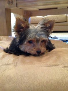 Duke of Yorkie - Just came back from my first grooming appointment. Not happy with mama.