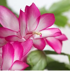 Schlumbergera x buckleyi A flat stem spineless cactus which blooms profusely with stunning rose pink and white colored flowers. Balcony Plants, Garden Plants, Garden Express, Madame Butterfly, Christmas Cactus, Tall Plants, Cacti And Succulents, Hanging Baskets, Calla Lily