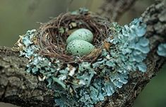 Black Cuckoo-Shrike nest by Warwick Tarboton