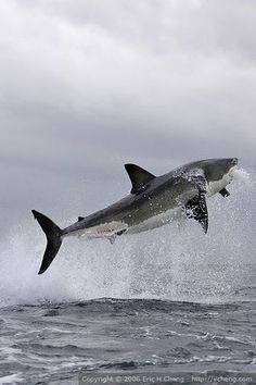 Great White Shark Breach At False Bay - Cape Town, South Africa