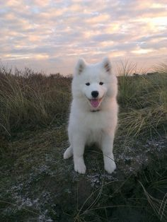 Samoyed / Alaskan spitz - best dogs ever!!! Soooo smart! Great w/ kids & easily trained! My 1st dog ever, Foofer!! Miss my BFF!!