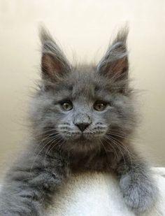 Fluffy Face Cat ♡