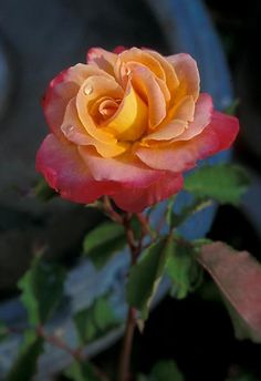 The colors of the sunset.  This is Granada.   A beautiful rose; a stunning phototgraph.