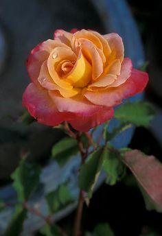 Heirloom Rose 'Granada'                                                                                                                                                                                 More