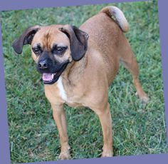9-17-2016 Coda is an adoptable puggle at The Briggs Animal Adoption Center in Charles Town, West Virginia