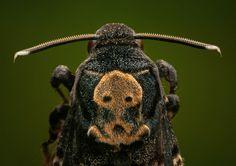Death's head hawk moth, Acherontia atropos.