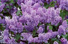 Growing lilacs.