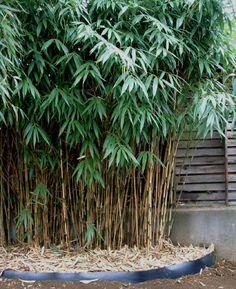 "Pseudosasa japonica ""Japanese Arrow"""