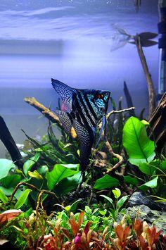 Koi Fish Aquarium, Cichlid Aquarium, Tropical Aquarium, Freshwater Aquarium Fish, Jellyfish Aquarium, Betta Fish Types, Betta Fish Tank, Pretty Fish, Beautiful Fish
