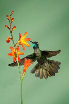 Juan Carlos Vindas Photography » Hummingbirds in Flight