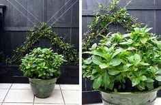 """White Hydrangea """"Bridal Bouquet"""" framed by an espalier in Chinese Star Jasmine. By HEDGE Garden Design & Nursery"""