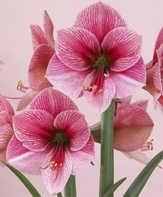 Amaryllis 'Purple Rain' bulb that is content to spend entire life in soil
