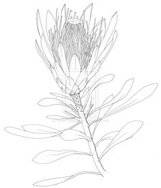 Images For > King Protea Drawing Protea Art, Protea Flower, Botanical Line Drawing, Botanical Drawings, Botanical Art, Australian Wildflowers, Australian Native Flowers, Plant Illustration, Botanical Illustration