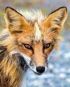 "loveforearth:      ""Crafty Old Fox"" by Doug Vaughn"