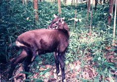extinct or rare animals - Saola