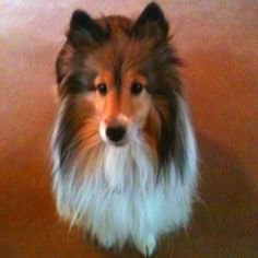 Sheltie named Shelby