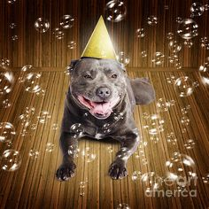 Partytime for a beautiful blue pedigreed staffordshire bull terrier dog on his birthday or New Year lying smiling on a wood floor wearing a conical party hat surrounded by iridescent floating bubbles by Ryan Jorgensen
