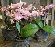 http://holmsundsblommor.blogspot.se/2014/02/gulliga-orkideer.html Phalaenopsis kolibri