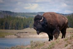 "The bison was once on the brink of extinction. Today, it is the national mammal of the US. WWF's Bison Initiative Coordinator for Northern Great Plains program Dennis Jorgensen says: ""T…"