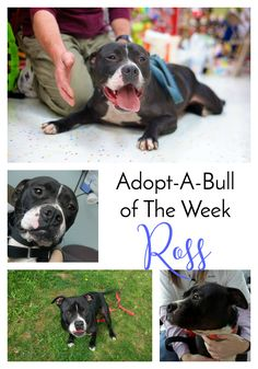 Adopt-A-Bull of The Week – Ross in Vermont | http://www.thelazypitbull.com/adopt-a-bull-ross-vermont/