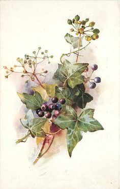 about 14 purple ivy berries, upper right branch has only immature green berries